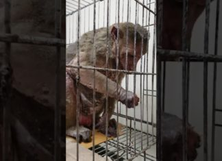 abused monkey in lab
